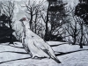 Ptarmigan in Snow on Gray Linocut