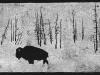 Bison in Snow on Black Linocut